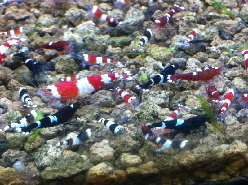 Quelques photos de mes crevettes Img_0916