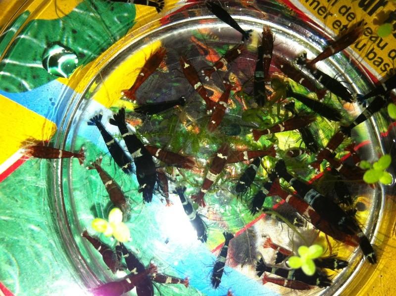 Quelques photos de mes crevettes Img_1311