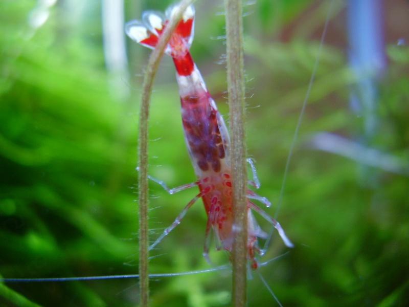 Quelques photos de mes crevettes P4011415