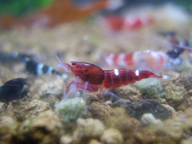 Quelques photos de mes crevettes P7290010