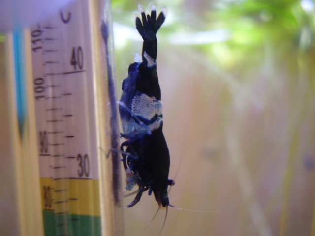 Quelques photos de mes crevettes P7300010