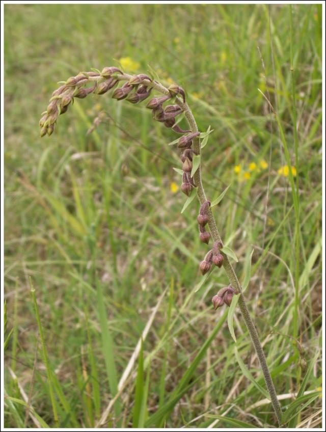 Epipactis atrorubens ( Epipactis pourpre noirâtre ) 745610