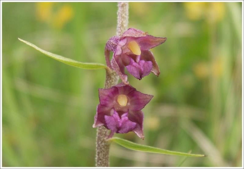 Epipactis atrorubens ( Epipactis pourpre noirâtre ) 75611