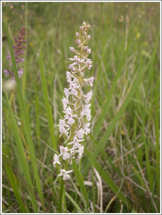 Gymnadenia conopsea (Orchis moucheron) 76910
