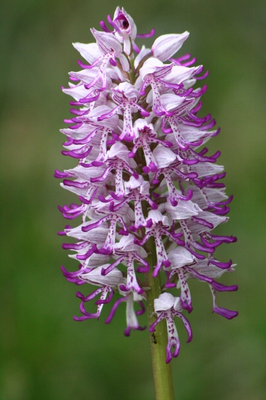 orchis simia ( Orchis singe ) Img_5010
