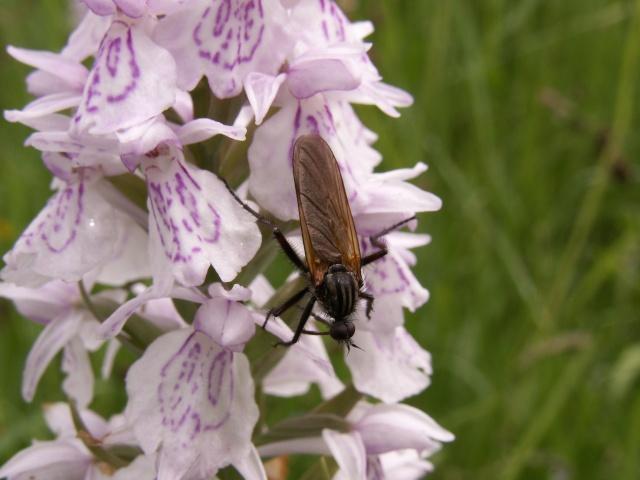 Insecte sur D.maculata Pict2710