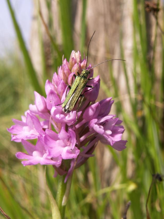 Insecte sur A.pyramidalis Pict3211