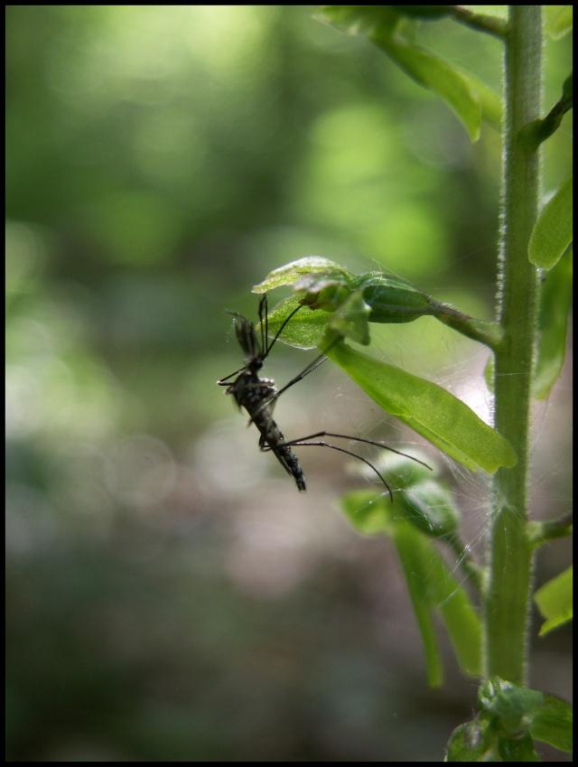 Insecte sur Listera ovata Pict6710
