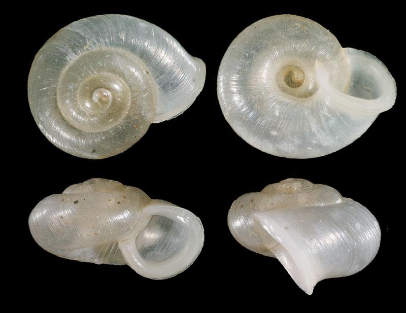 Mini-gastéropode Vallon10