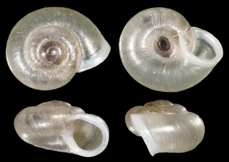 Mini-gastéropode Vallon11