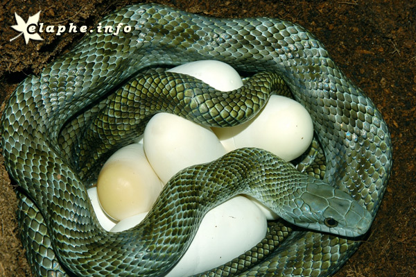 L'examen de son premier serpent Climac11