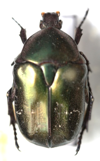 Protaetia (Netocia) cuprea bourgini ou metallica ? P_cupr10