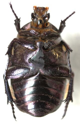 Protaetia (Netocia) cuprea bourgini ou metallica ? P_cupr11