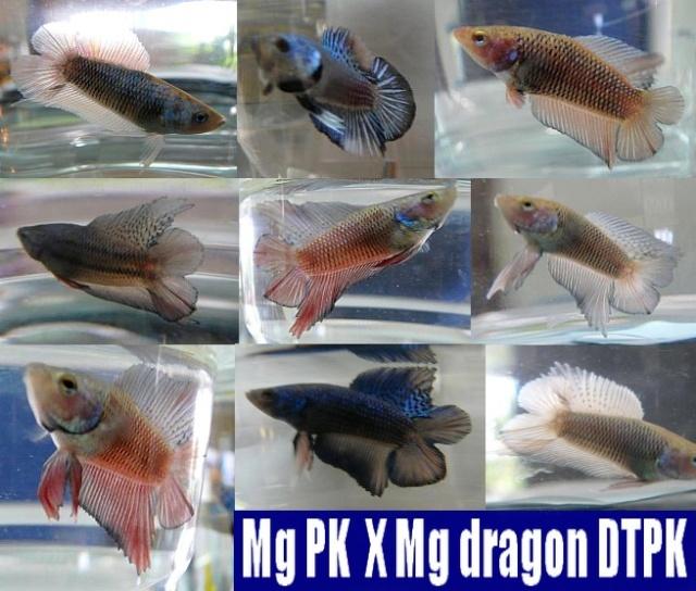 Jeunes pk (dt et geno dt) issus de repro mg X mg dragon Collag10