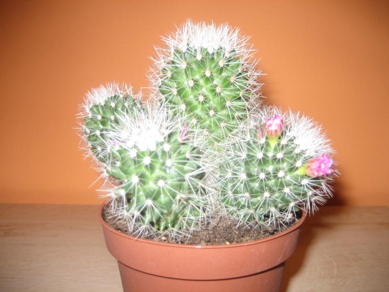 2 nouveaux à identifier SVP - Merci[Mammillaria boolii...] Img_0310