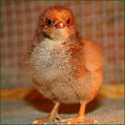 voici mes poules Poussi10