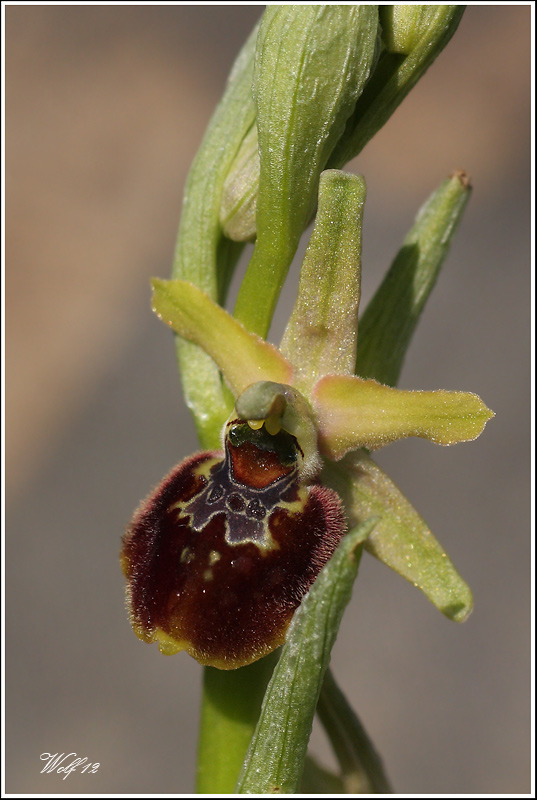 ophrys : suite 2012. Ophrys13