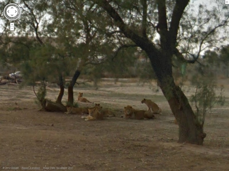 STREET VIEW : Les animaux - Page 7 Lions10