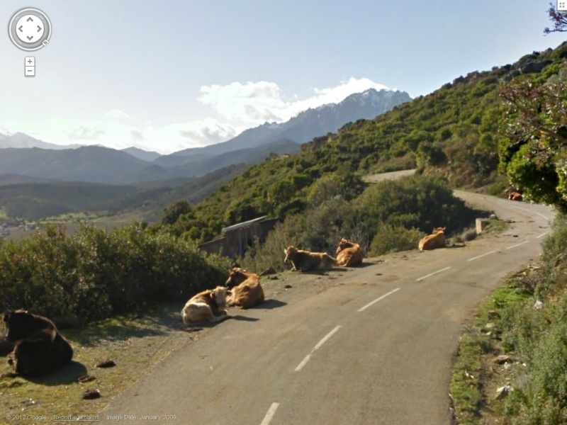 STREET VIEW : Les animaux - Page 7 Vaches10
