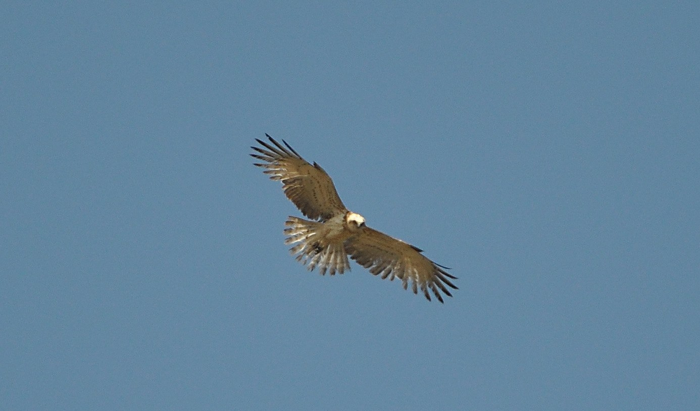Maroc - Photos oiseaux Clipb369