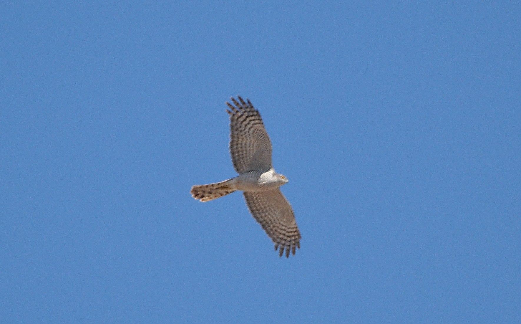 Maroc - Photos oiseaux Clipb370