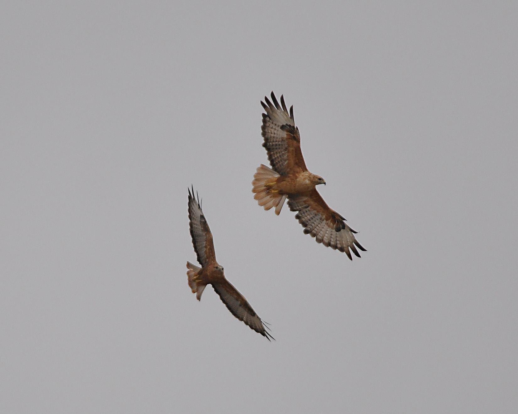 Maroc - Photos oiseaux Clipb371