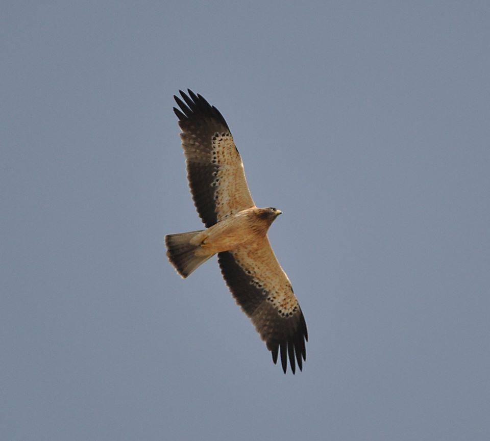 Maroc - Photos oiseaux Clipb375