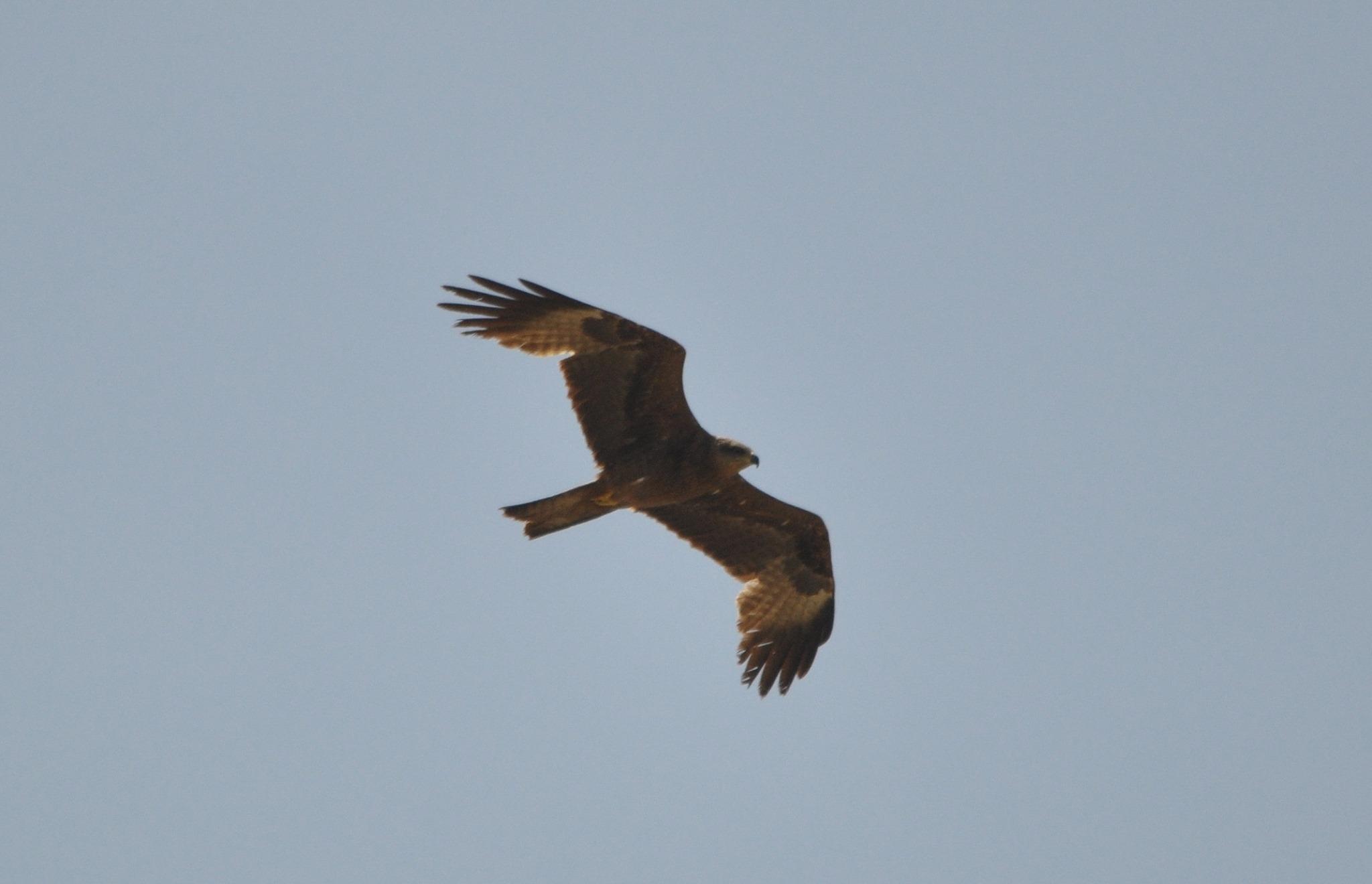 Maroc - Photos oiseaux Clipb377