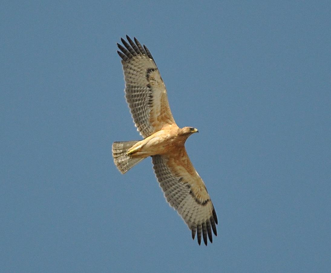 Maroc - Photos oiseaux Clipb378