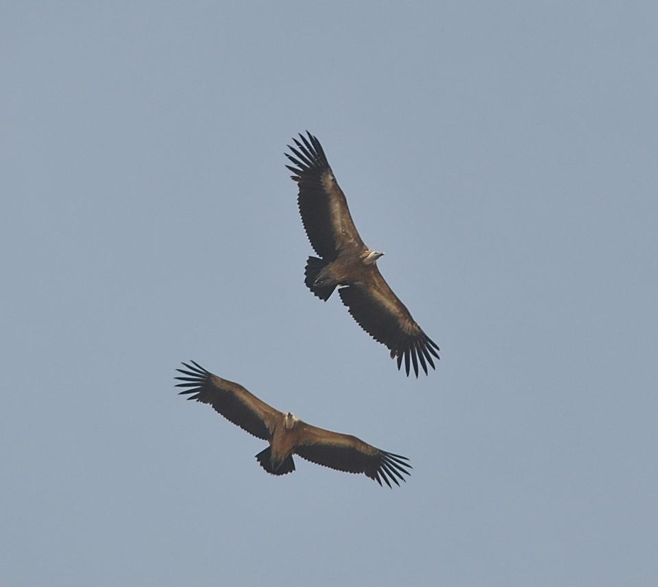 Maroc - Photos oiseaux Clipb380