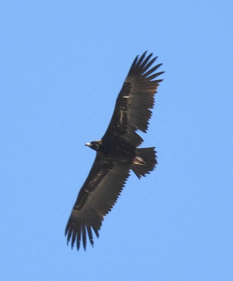 Maroc - Photos oiseaux Clipb381