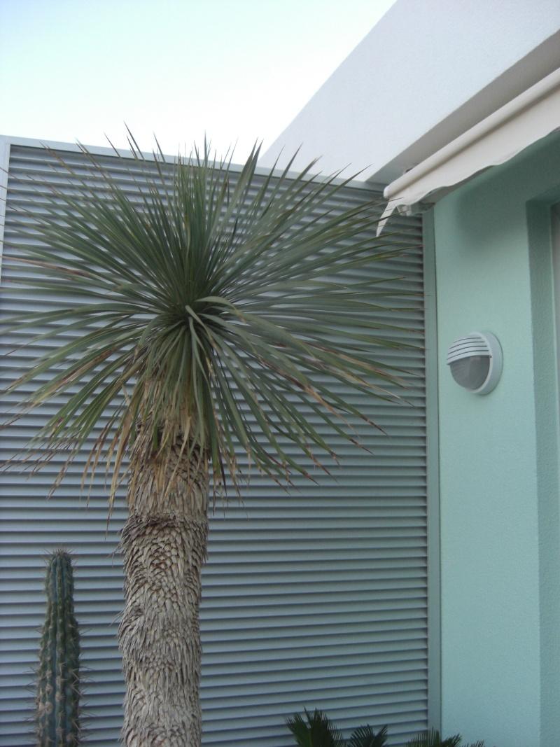 yucca rostrata, que je ne sais dans quelle catégorie mettre... Photo_39