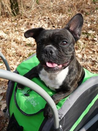 Modes de transport pour petits / vieux chiens qui fatiguent vite P1100112