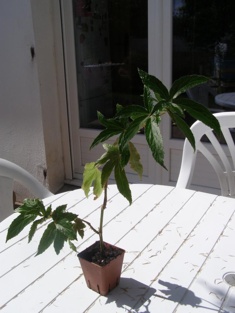 Pour identification[Begonia 'lee luxurians' et ??? ] P5220010