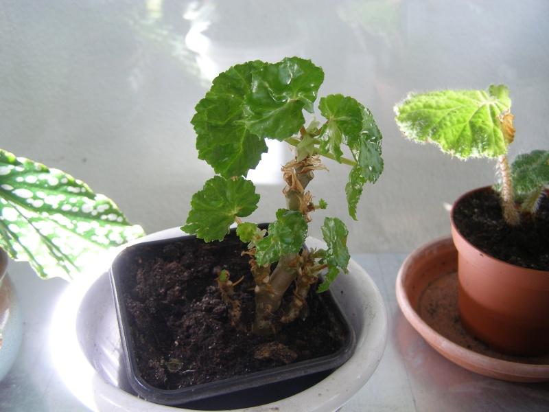 Pour identification[Begonia 'lee luxurians' et ??? ] P5220012