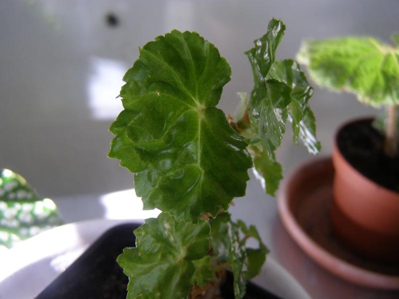 Pour identification[Begonia 'lee luxurians' et ??? ] P5220013