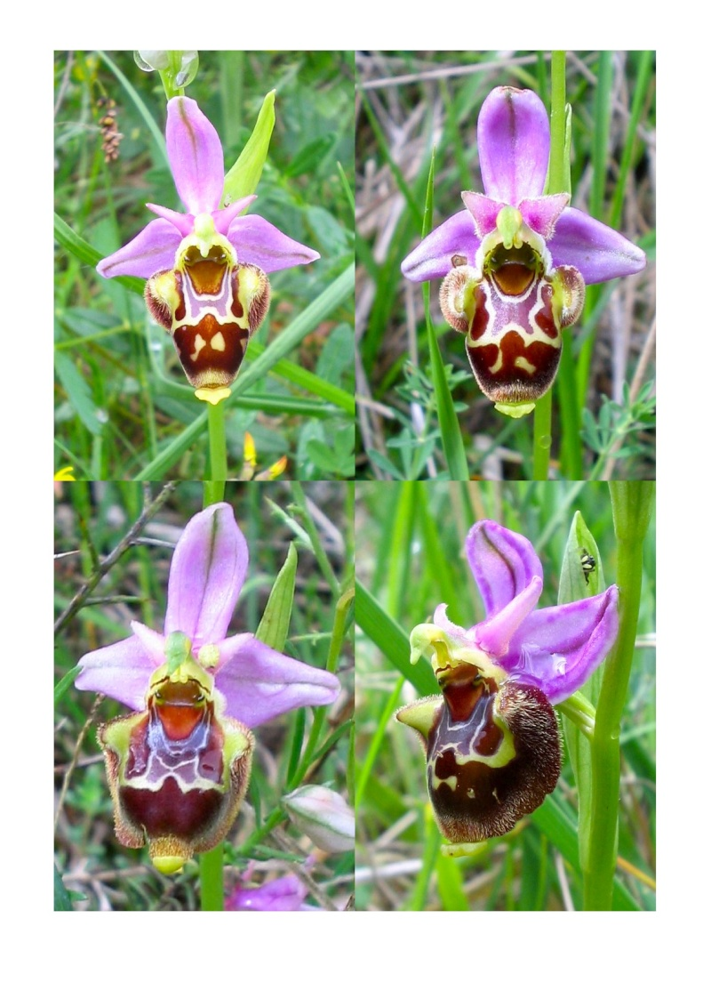 Ophrys scolopax Collin10