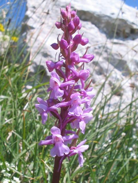 Gymnadenia conopsea (Orchis moucheron) Gymn_c10