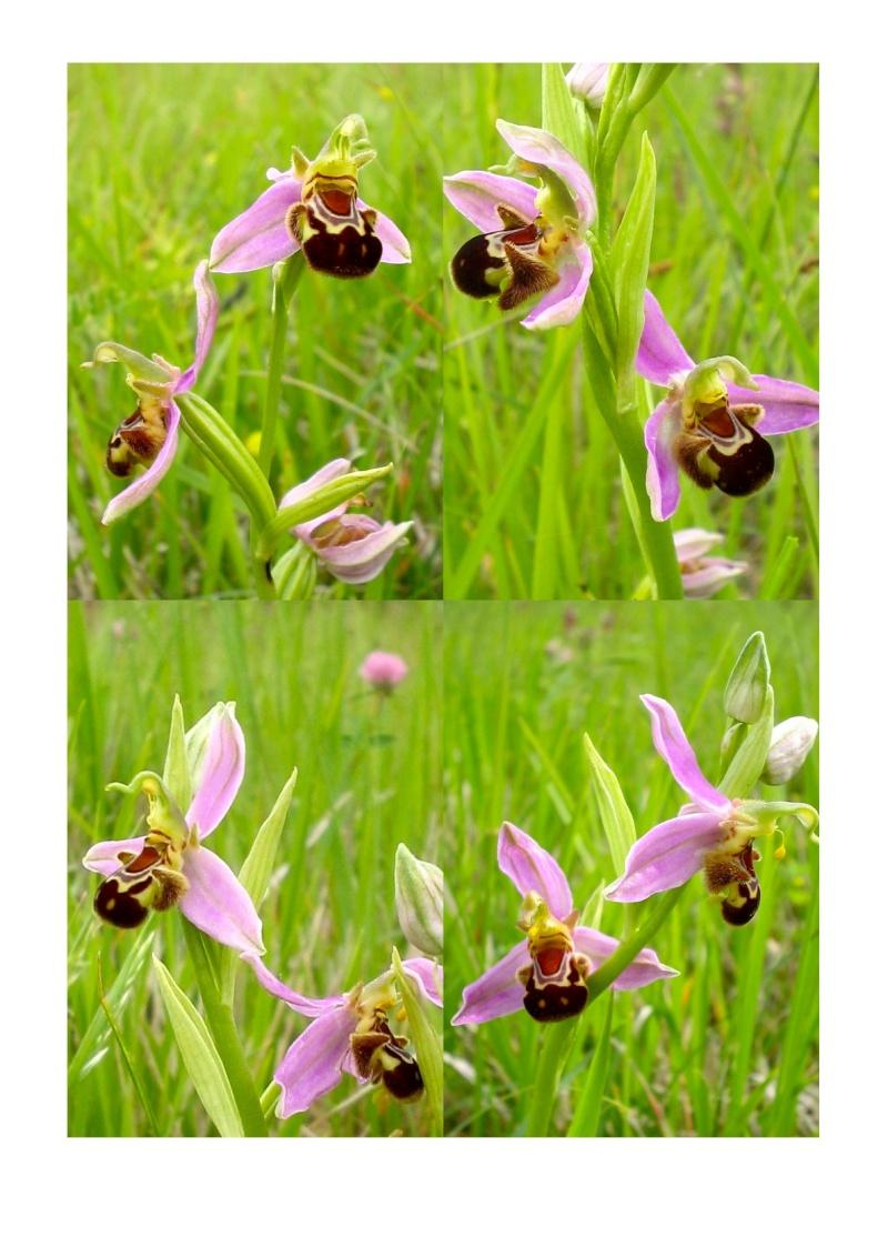 Ophrys apifera O_apif13