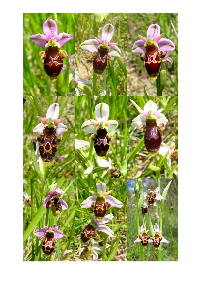 Ophrys scolopax O_scol11