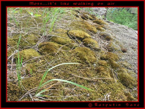 The painstaking hunt... Moss10