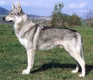 Dogs pictures / fotografije pasa Cv110