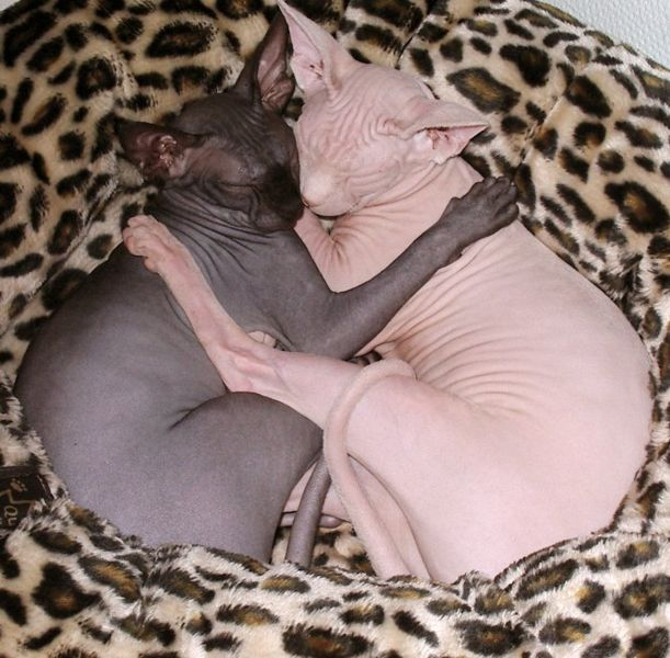 le chat sphynx - Page 3 611px-10