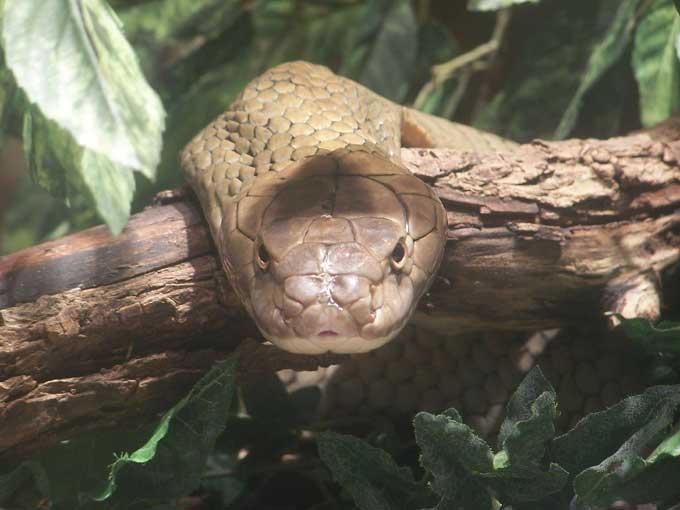 le cobra royal Cobra_11