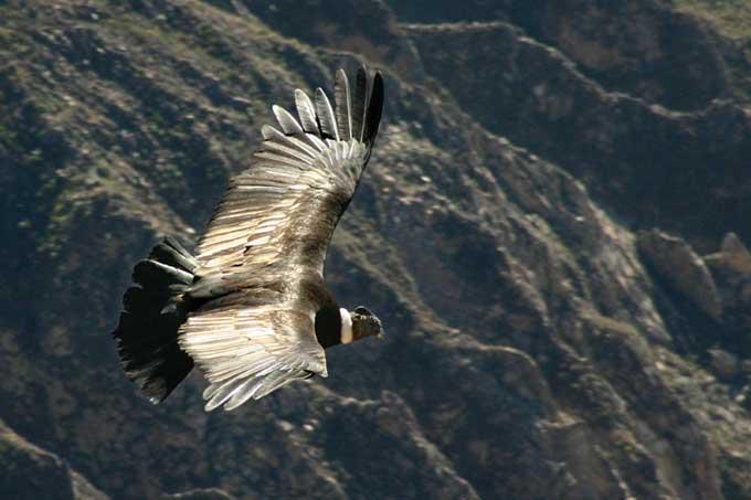 le condor des andes Condor15