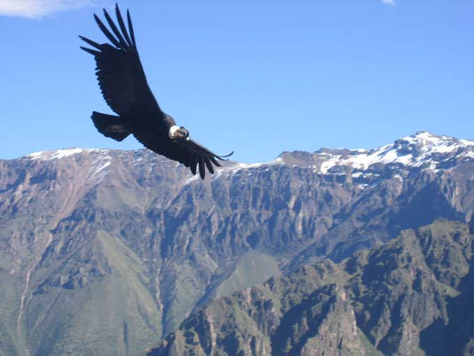 le condor des andes Condor16