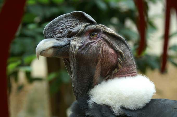 le condor des andes Condor17