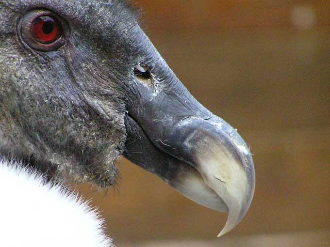 le condor des andes Condor18