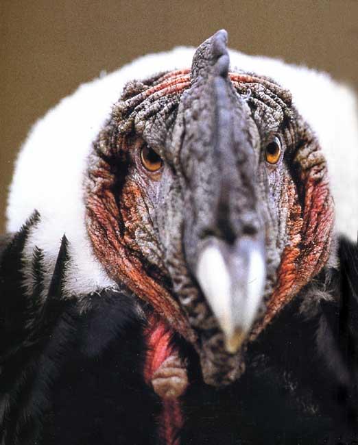 le condor des andes Condor21