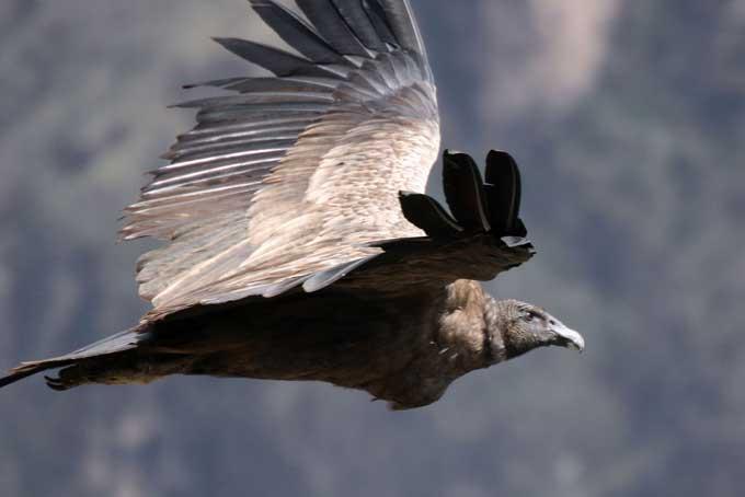 le condor des andes Condor22